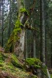 Zadna Polana urtids- skog Arkivfoton