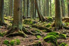 Zadna Polana urtids- skog Fotografering för Bildbyråer