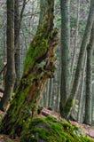 Zadna Polana urtids- skog Royaltyfria Bilder