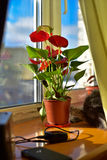 Zadowolone szarość kocą się wygrzewać się w okno i podziwiać kwiatu Obraz Royalty Free