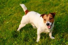 Zadowolony i szczęśliwy pies z figlarnie twarzy wyrażeniem na zielonej trawy tle Obrazy Royalty Free