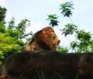 Zadowolony lew cieszy się outdoors obraz royalty free