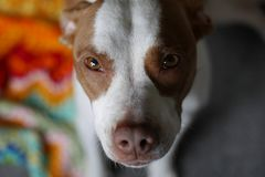 Zadowolony portreta widok pitbull ciucia w jej nowym domu zdjęcie stock