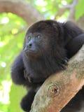 Zadumana Czarna wyjec małpa Zdjęcie Stock