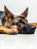 Zadumany pies Obrazy Stock