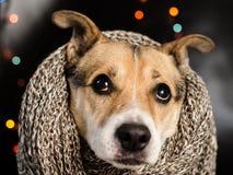 Zadumany pies ubierał w duże szarość dziającym palowym spojrzenia thoughtfu Zdjęcie Royalty Free