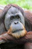 zadumany przyglądający orangutan Fotografia Royalty Free
