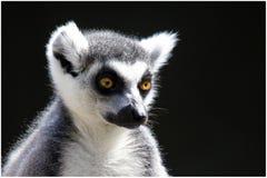Zadumany Ringowy Ogoniasty lemur zdjęcia stock