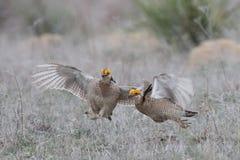 Zadziera lesser preryjnego kurczaka chwyta skrzydło inna samiec zdjęcia stock