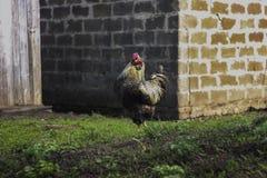 Zadziera odprowadzenie na zielonej łące w podwórku Zdjęcia Royalty Free