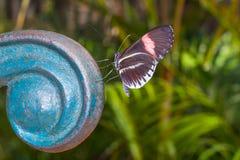 Zadziwiać Cattleheart Swallowtail, motyl, amazonian tropikalny las deszczowy Obrazy Royalty Free