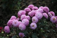 zadziwiać zadawala naturalną piękno kwiatu fotografię dla wszystkie leluj róż czytać różanemu kolorowi żółtemu dla someone specja Fotografia Stock