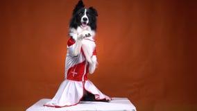 Zadziwiający czarny i biały pies stoi na dwa nogach i wskazuje jego łapę, królik sztuczka zbiory wideo