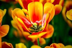 Zadziwiająca czerwień, kolor żółty, pomarańczowy pełny okwitnięcie tulipan od Holandia Zdjęcia Stock