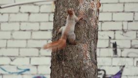 Zadziwiająca i śliczna wiewiórka ten pięcie na sośnie w zwolnionym tempie zbiory wideo