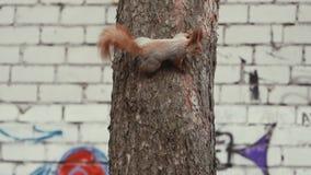 Zadziwiająca i śliczna wiewiórka ten pięcie na sośnie w zwolnionym tempie zbiory