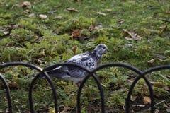 Zadziwiająca natura - gołąbka Zdjęcia Royalty Free