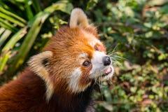 Zadziwiająca pomarańczowa panda obraz royalty free
