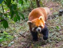 Zadziwiająca pomarańczowa panda obrazy royalty free