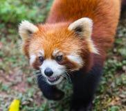 Zadziwiająca pomarańczowa panda zdjęcie stock
