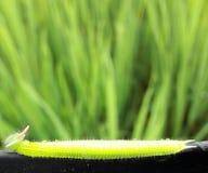 zadziwiająca ricefield dżdżownica Zdjęcia Stock