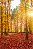 Zadziwiająca złota jesień barwi w lasowej ścieżki śladzie jesień inkasowy kolorowy kabaczka stół Fotografia Royalty Free