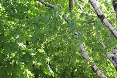 Zadziwiające brzozy mnóstwo zielonych liście i bagażniki z bielem szczekają Zdjęcie Stock