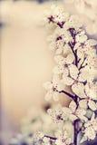 Zadziwiającej wiosny czereśniowy okwitnięcie, kwiecista granica, wiosny natury tło fotografia stock