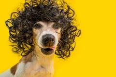 Zadziwiający śmieszny psi portret wewnątrz frizzle czarna fryzury peruka Chłodno pewny siebie zuchwała czelna twarz lizać zwierzę zdjęcia royalty free