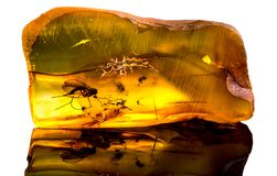 Zadziwiający Baltic bursztyn z zamarzniętym w ten kawałku komar fotografia stock