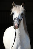 Zadziwiający biały shagya arab odizolowywający Zdjęcia Stock