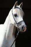 Zadziwiający biały shagya arab odizolowywający Obraz Royalty Free