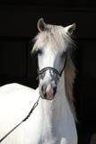 Zadziwiający biały shagya arab odizolowywający Fotografia Royalty Free