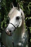 Zadziwiający biały shagya arab w naturze Zdjęcia Royalty Free