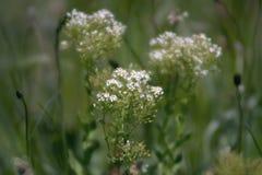 Zadziwiający białych kwiatów okwitnięcie w polu Zdjęcia Stock