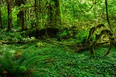 Zadziwiający drzewa w tropikalnym lesie, Hoh las tropikalny, Olimpijski park narodowy, Waszyngtoński usa fotografia royalty free