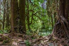 Zadziwiający drzewni korzenie, Hoh las tropikalny, Olimpijski park narodowy, Waszyngtoński usa obrazy royalty free