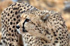 Zadziwiający dziki Afrykański gepard w sawannie Namibia Fotografia Royalty Free
