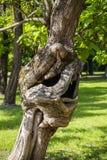 Zadziwiający Dziwny i Dziwaczny Wyginający się drzewo na Palic jeziora parku obraz royalty free