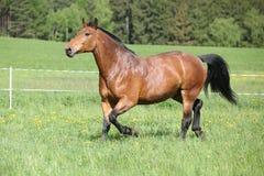 Zadziwiający i duży brown koński bieg obraz royalty free