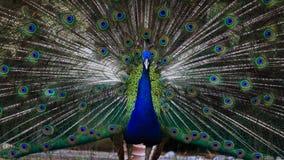 Zadziwiający i piękny pawi fan swój ogon Obrazy Royalty Free