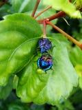 Zadziwiający indygowi insekty spotyka na poślubniku leaf zdjęcia stock