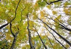 Zadziwiający klonowi drzewa Obraz Royalty Free