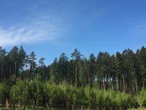 Zadziwiający las z wysokimi sosnami zdjęcia royalty free