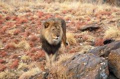 Zadziwiający męski lew w sawannie Namibia fotografia royalty free