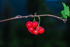 Zadziwiający mali soczyści czerwoni rodzynki Fotografia Stock
