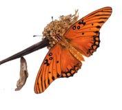 Zadziwiający moment o motyliej zmiany formy chryzalidzie Zatoki prażonka Zdjęcie Stock