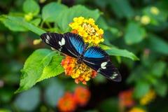 Zadziwiający motyl na żółtym kwiacie Zdjęcie Royalty Free