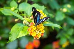 Zadziwiający motyl na żółtym kwiacie Obraz Royalty Free