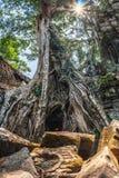 Zadziwiający nieprawdopodobni gigantyczni antyczni drzewa Ta Prohm, Angkor Wat, Siem Przeprowadzają żniwa, Kambodża Świątynia tak Fotografia Stock